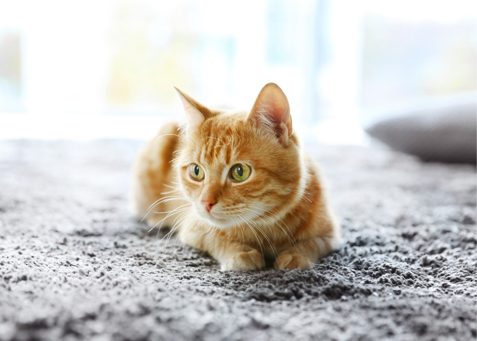 carpet cleaning cary nc pet stains and odor removal