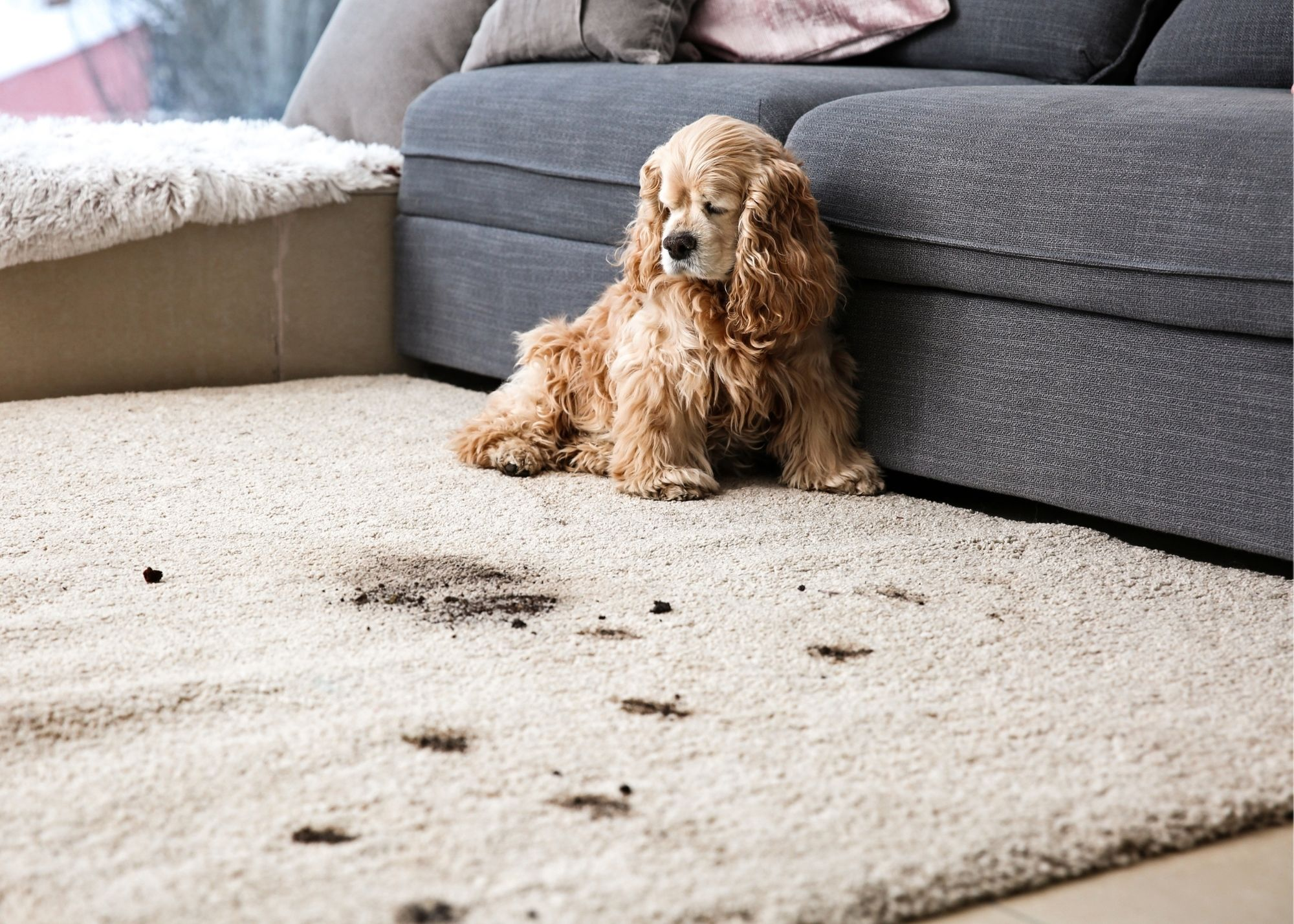 carpet cleaning cary pet stains and odor removal