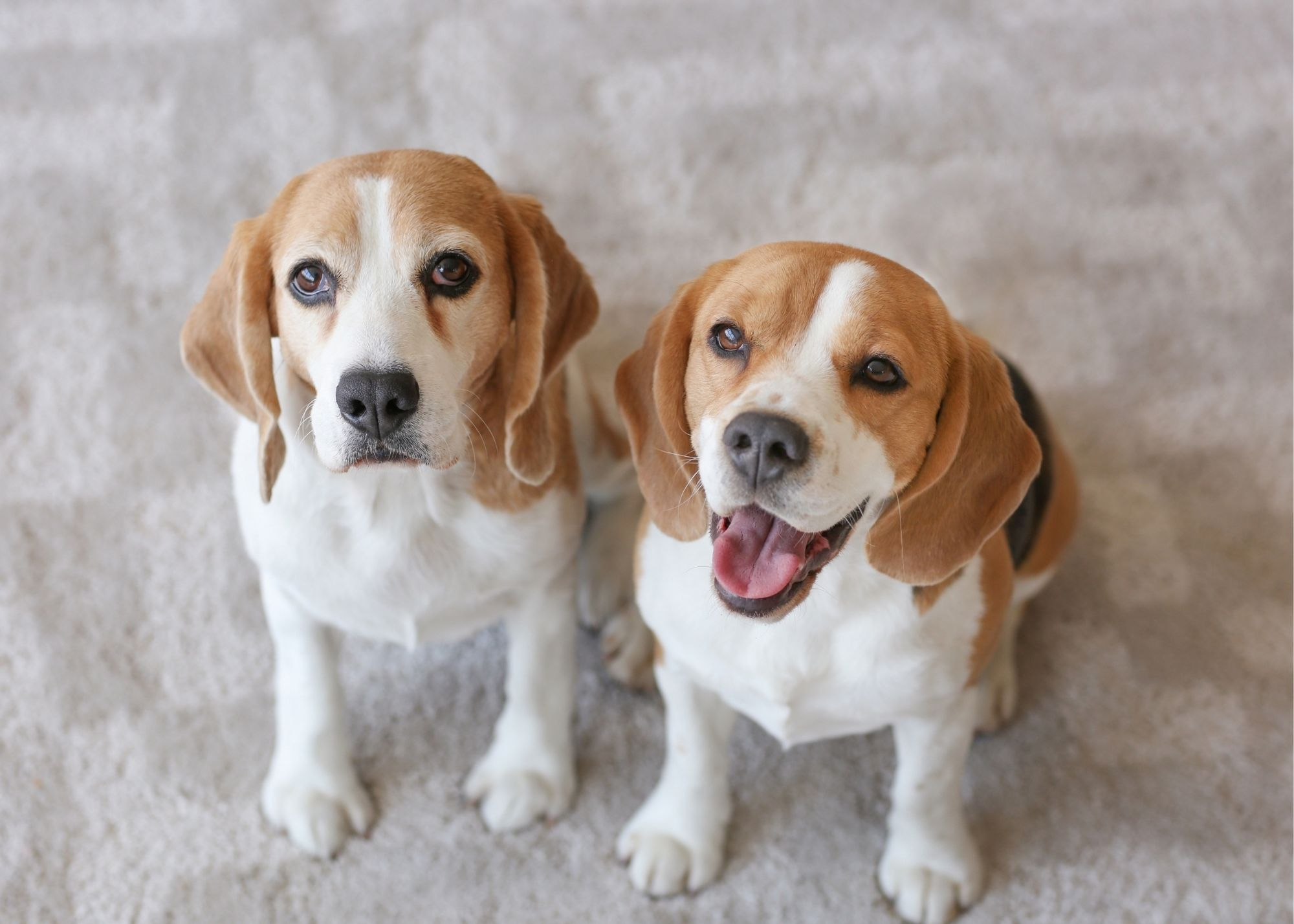 carpet cleaners cary nc pet stains and odor removal