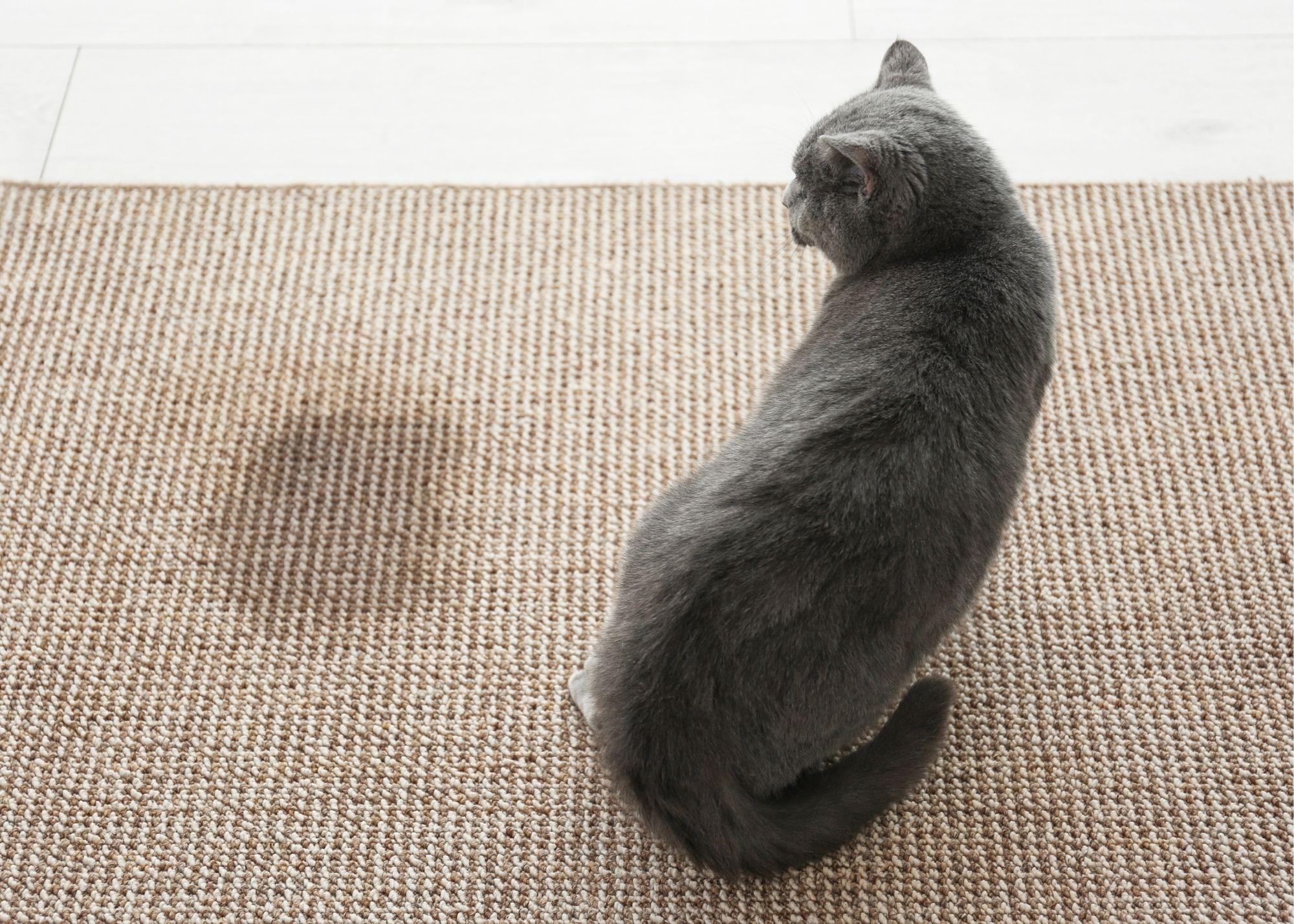 pet stains and odor removal carpet cleaning cary nc